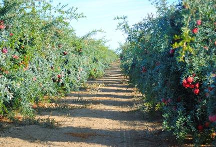 pom orchards 040