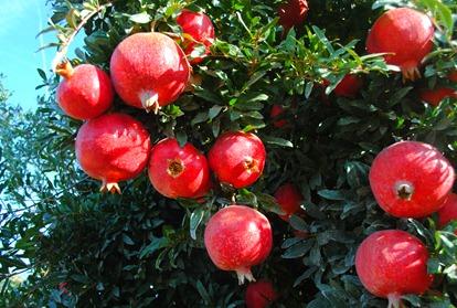 pom orchards 043