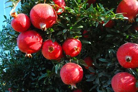 pom orchards 044