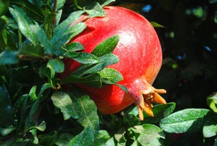 pom orchards 050