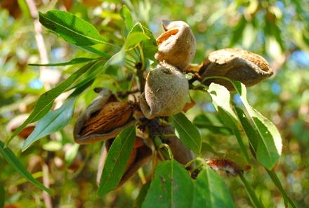 pom orchards 099