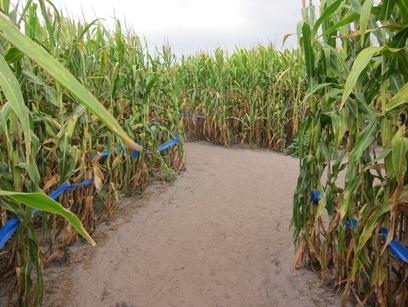 corn maze 008