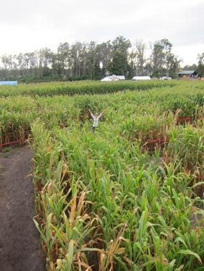 corn maze 014