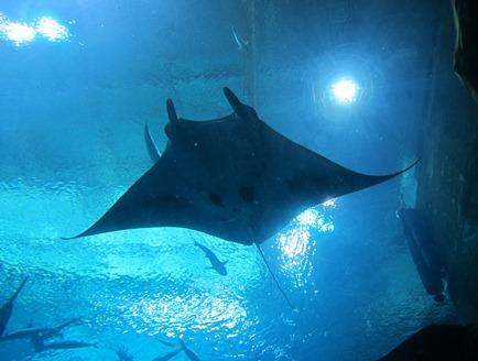 scuba diving with whale sharks georgia aquarium 024
