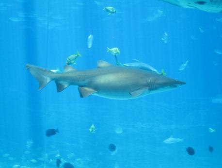 scuba diving with whale sharks georgia aquarium 031