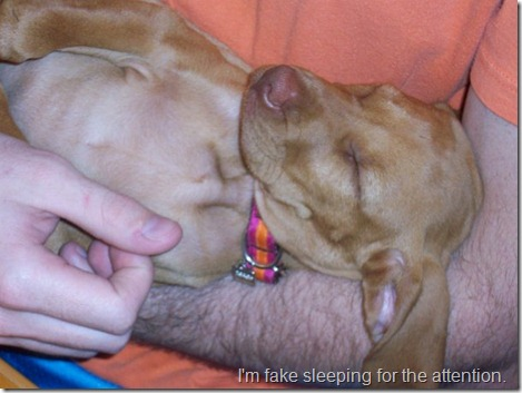 vizsla puppy sleeping