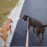 walking dogs 058