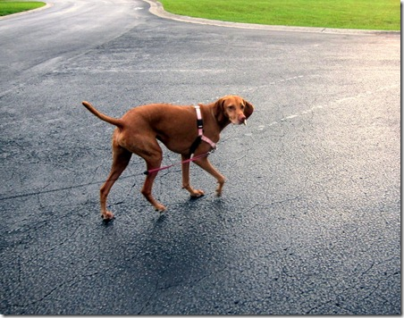 walking vizsla
