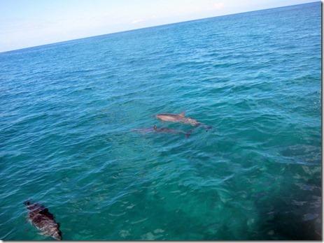 dolphins waianae coast