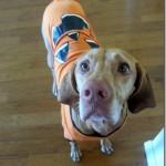 pumpkin dog vizsla