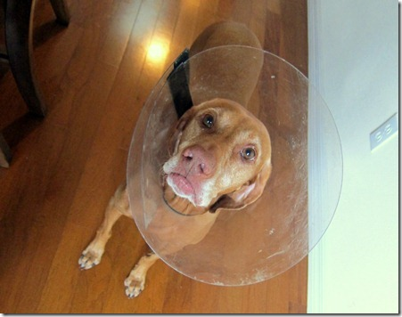 vizsla wearing cone