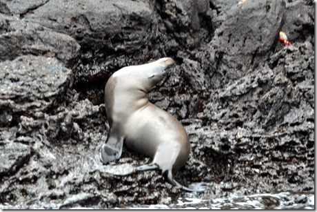 Bartolome Sea Lion