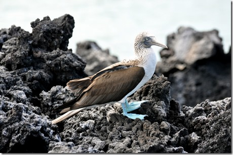 Bloe Footed Booby Galapagos