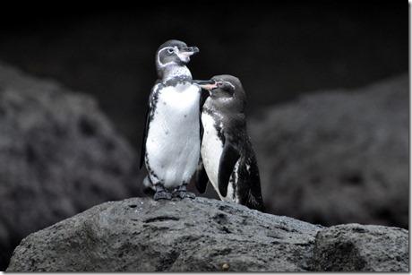 Galapagos Island Penguins
