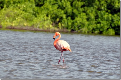 Galapagos Islands Flamingo