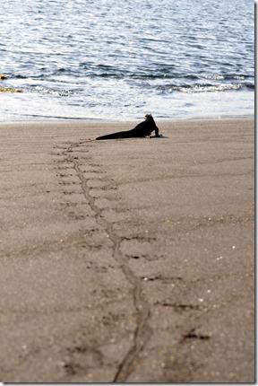 Marine Iguana Tracks Galapagos