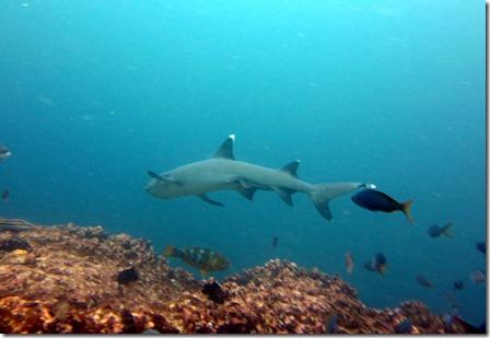 White tipped shark Galapagos