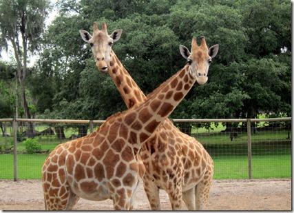 Giraffe Ranch Florida