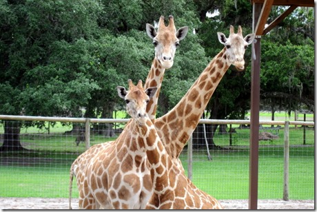 Giraffe Safari Ranch Dade City