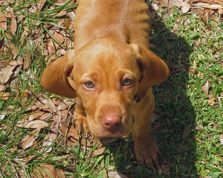 Vizsla Beagle Mix Puppies Sadie vizsla