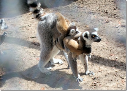 lemur with twins