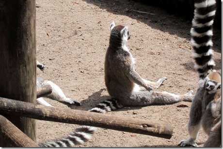 meditating lemur