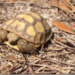 Gopher Tortoise Baby