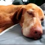 Sleepy Vizsla