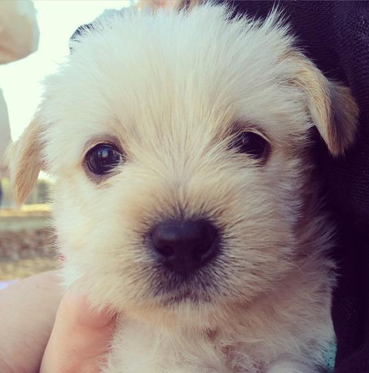 shih tzu mix puppy
