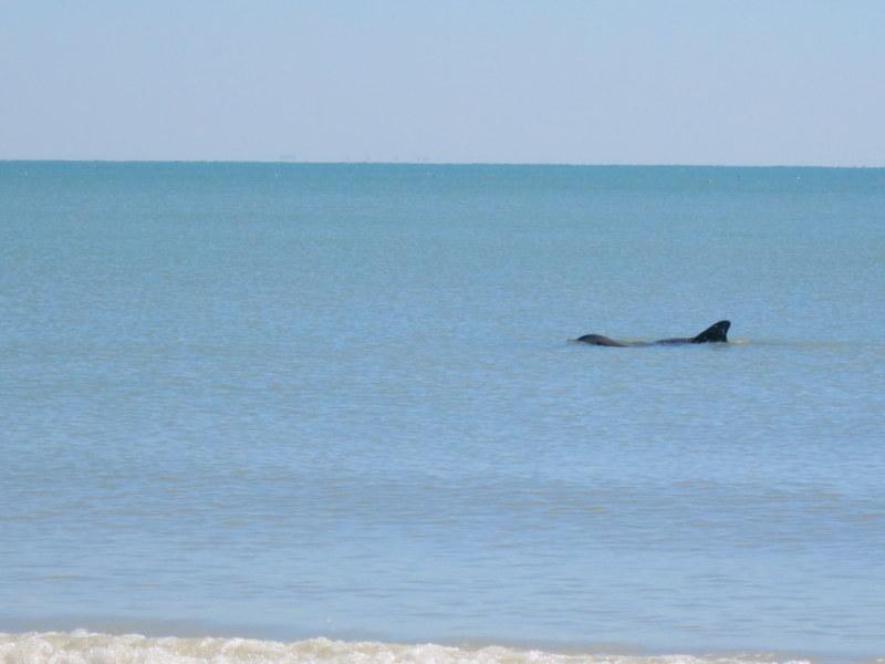 sanibel dolphins
