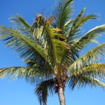 sanibel palm tree