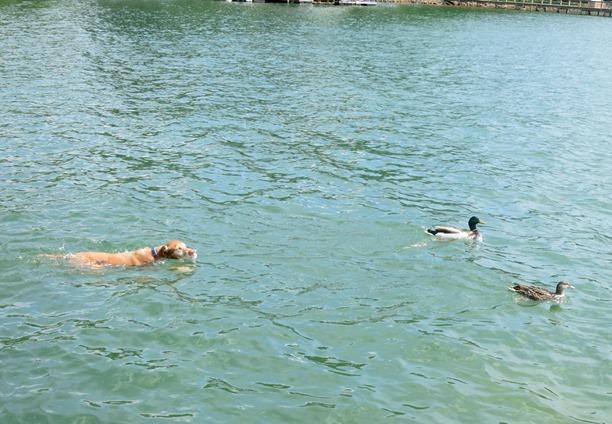 vizsla with ducks