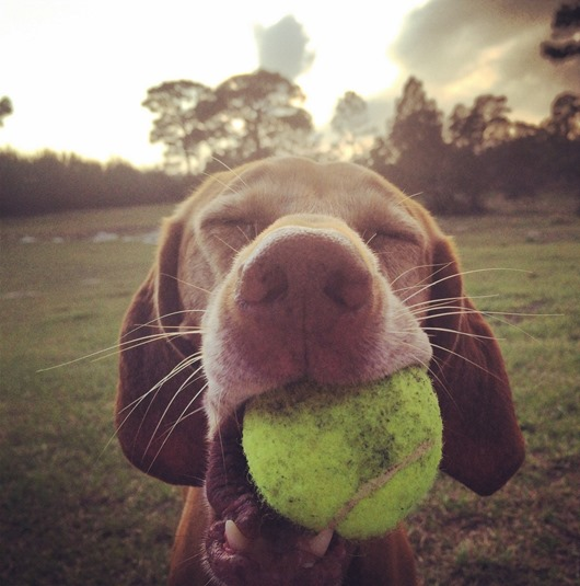 sadie vizsla tennis ball