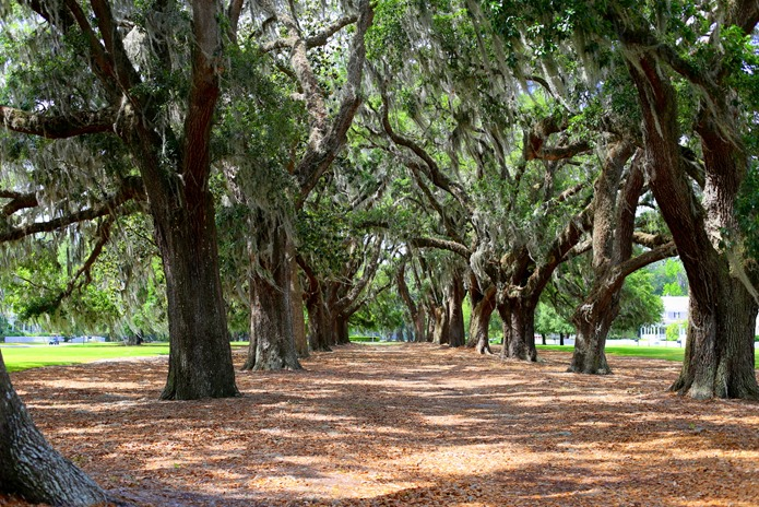 Ford Plantation Oak Trees