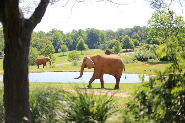 North Carolina Zoo Elephants