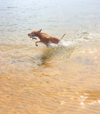 Vizsla Water Dog