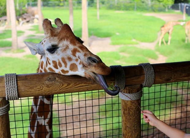 Jacksonville Zoo Giraffe