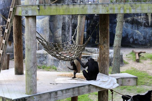 baby bonobo monkey