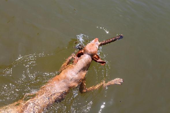 vizsla swimming sadie