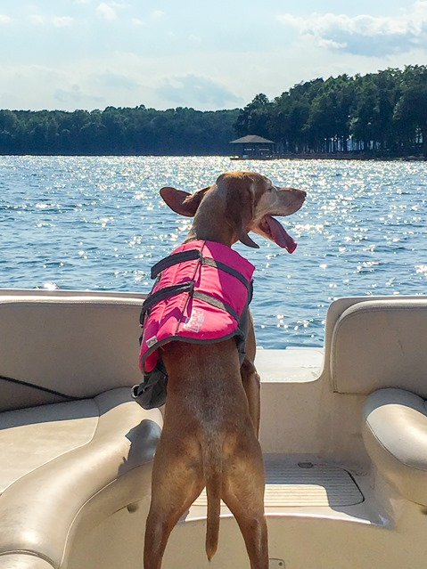 Lake Norman Dog Swimming Sadie